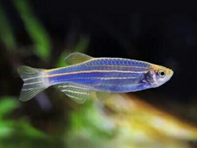 ikan hias kecil murah dan penuh warna