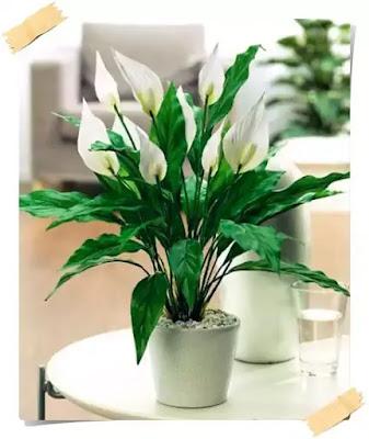 plante de apartament deosebite cu energii pozitive care emana oxigen