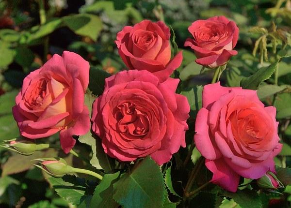 Midsummer роза фото
