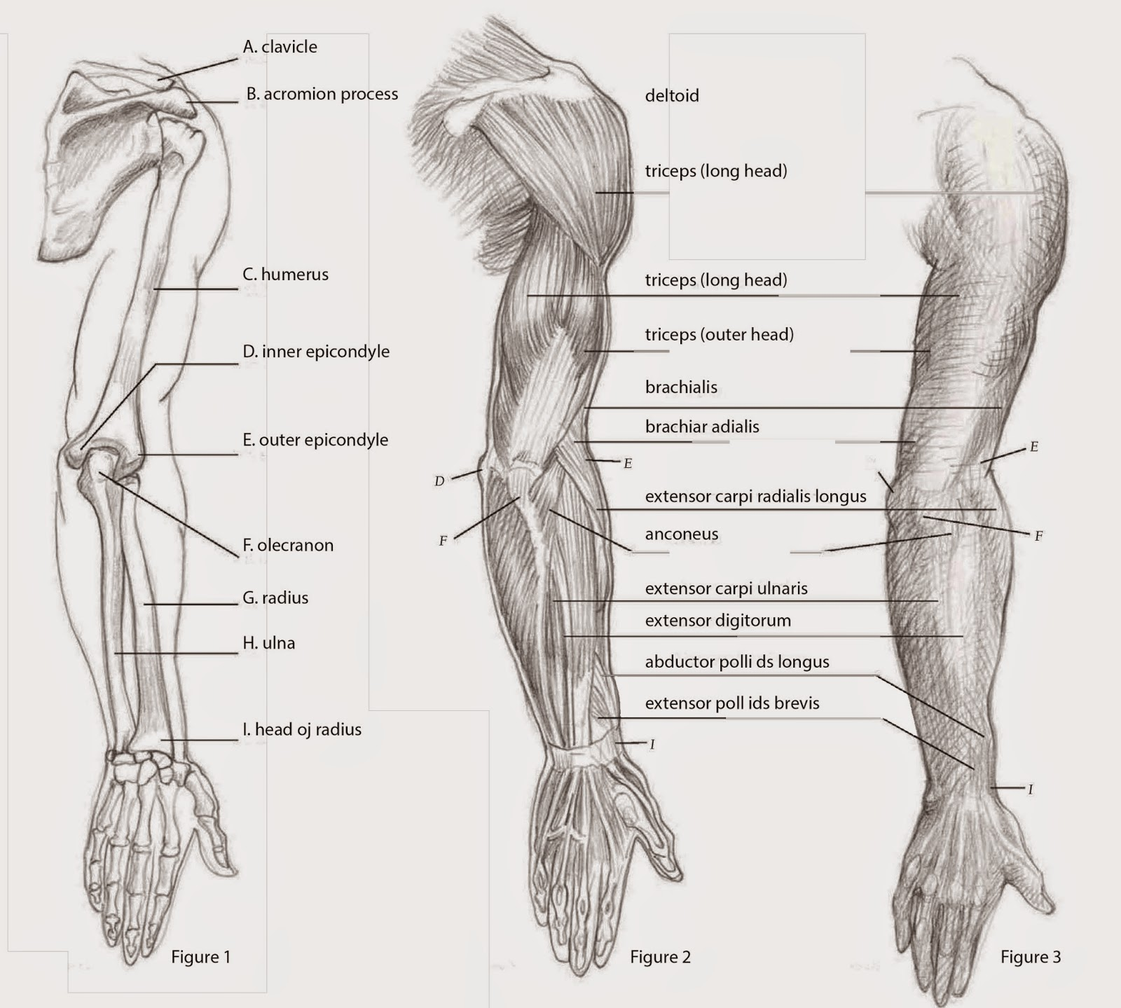 Drawings Depicting The Arm Back View