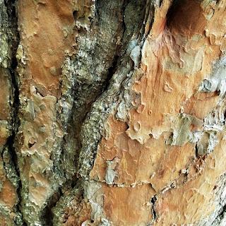 Tronco de Pinus - Jardim Botânico de Porto Alegre