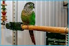 The Conure de Molina or Green-cheeked Conure: Advice and good breeding practices