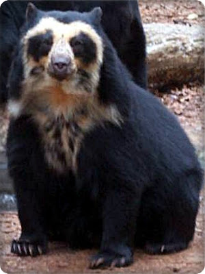 Spectacled Bear or Andean Bears Facts