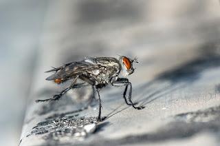 मक्खी के बारे मे जानकारी