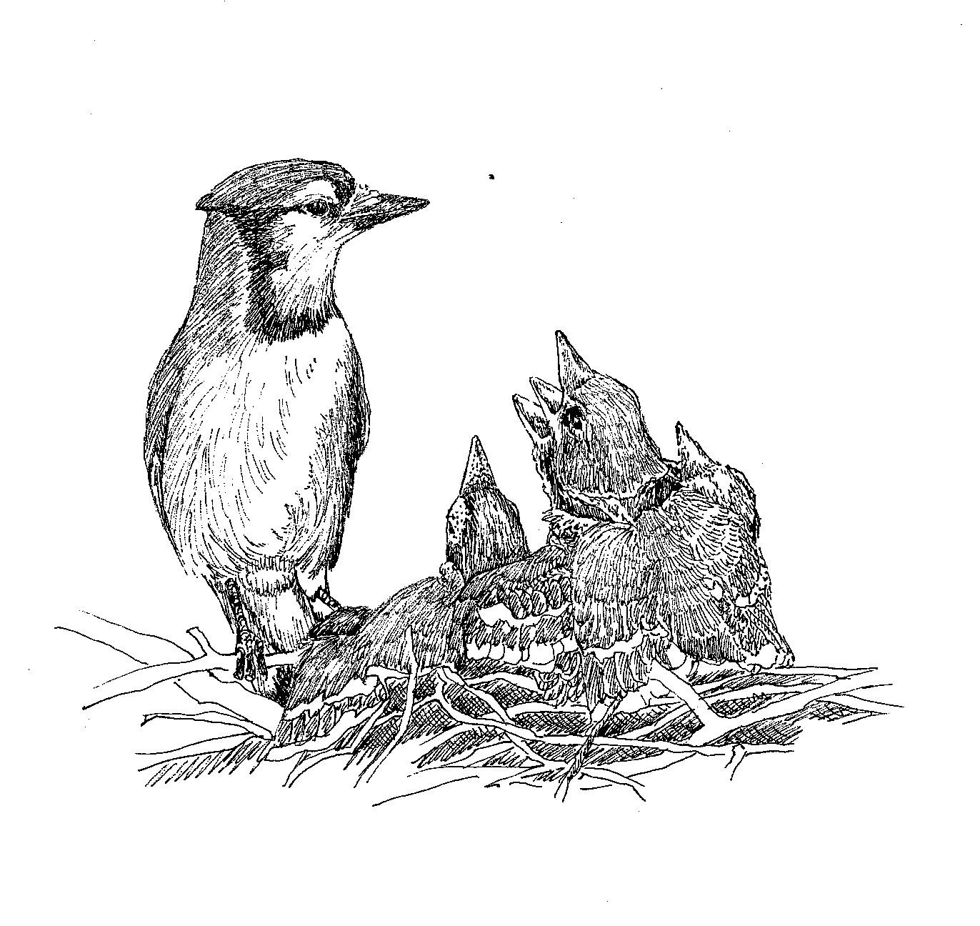 birds feeding drawing