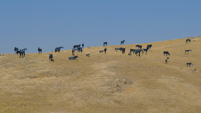A strange looking herd of horses in Montana...