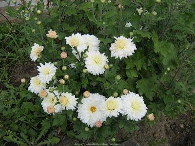разновидности хризантем