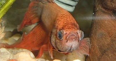 Pop Eye Ikan Cupang