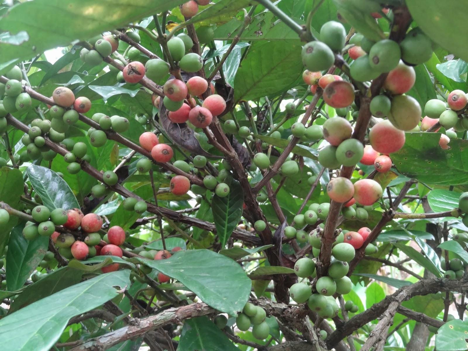 Jual Kopi Hijau Diet Green Coffee