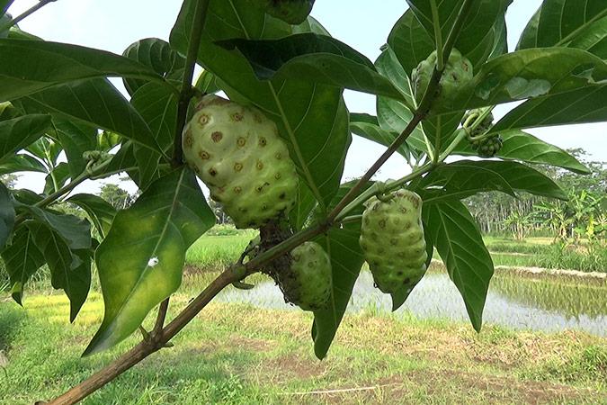 Dlium Noni (Morinda citrifolia)