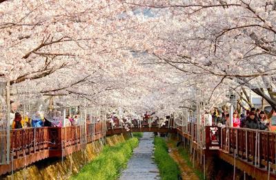 Gambar Pemandangan Indah di Korea Jinhae Tempat Wisata Musim Semi