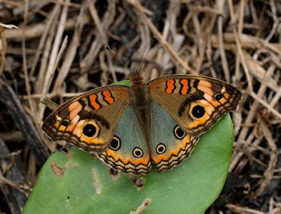 Mariposa pavo real (Junonia genoveva)