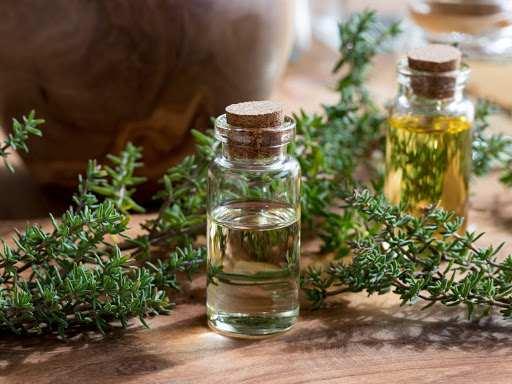 Tinh dầu cỏ xạ hương có tác dụng kháng sinh mạnh