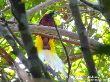 Birding in the rainforest of  West Papua