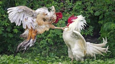 5 Kesalahan Dalam Merawat Ayam Petarung Versi S1288