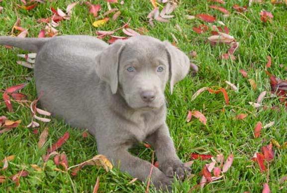 Best Dog Food For Labs >> All Labrador Retrievers: Homemade v. Commercial Silver Labrador Training Treat