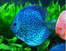 ikan hias air tawar terindah air murni