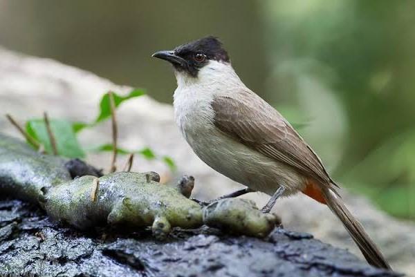 Jenis Burung Kutilang Yang Populer Di Indonesia