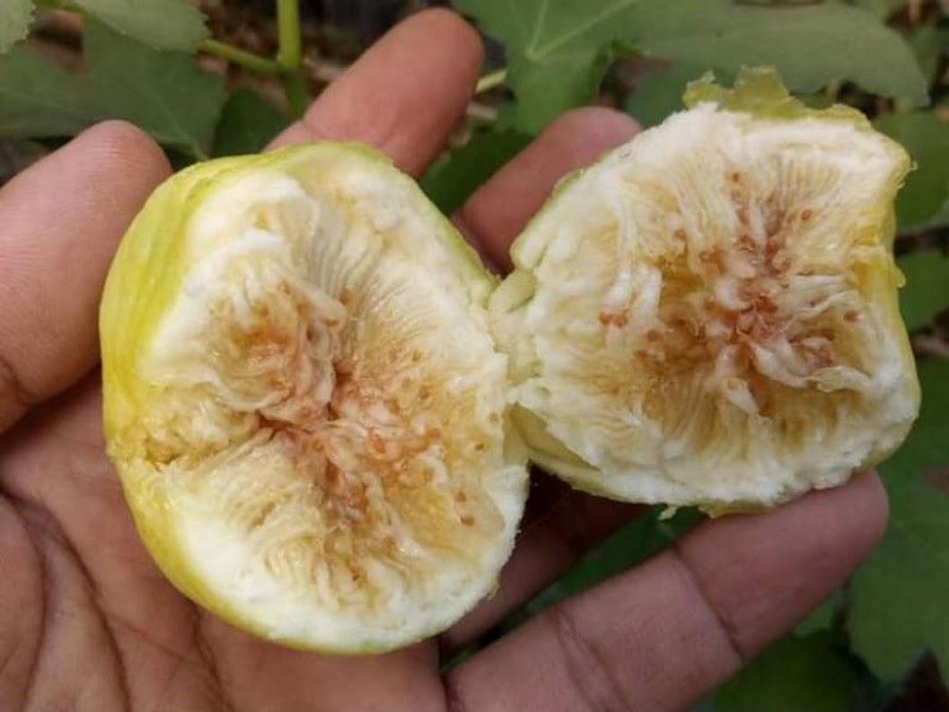 bibit tin cangkok jenis Jin Ao Fen bibit pohon tin jenis unggul buah jumbo Banjarmasin