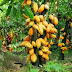 How to Start Cocoa Farming Business