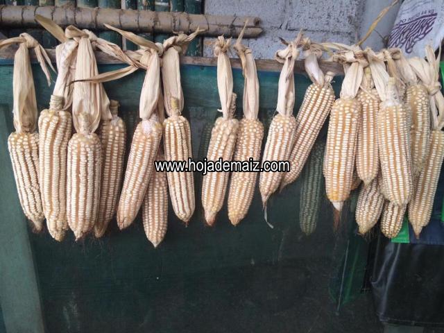 Semilla de maiz criollo hojero