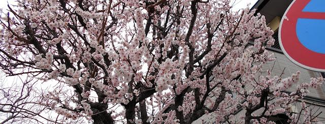 桜のような梅の花?