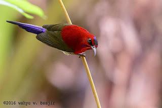 Bondol Jawa dan Burung Madu Jawa