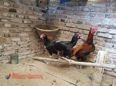 mengawinkan ayam aduan