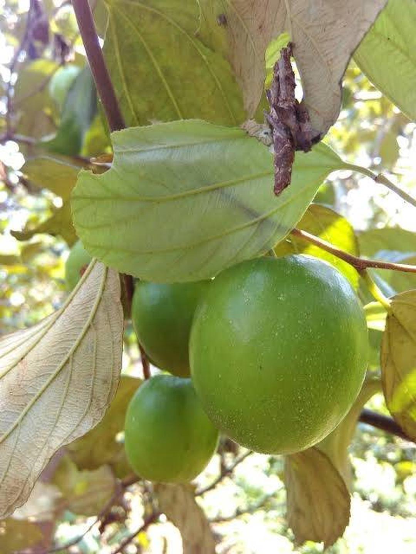Kualitas Super! bibit Tanaman buah Apel India PUTSA super murah Kota Bandung #bibit buah genjah termurah