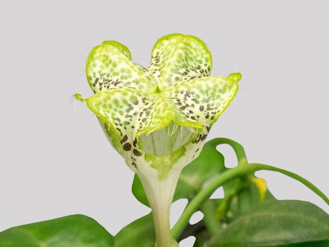 Flor Ceropegia sandersonii