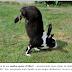 Cientistas finalmente descobrem porque esses coelhos andam sobre as duas patas dianteiras