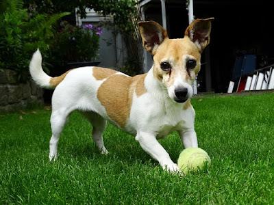 cachorro-brincando-com-bolinha-de-tenis