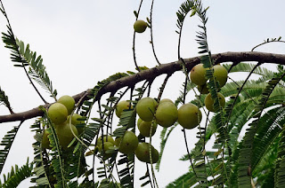 amla for good health,health benefits of amla