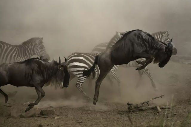 The Great Migration of the Wildebeest and Zebra