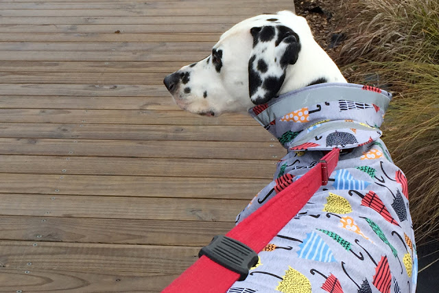 Dalmatian dog wearing a raincoat with colourful umbrella print pattern