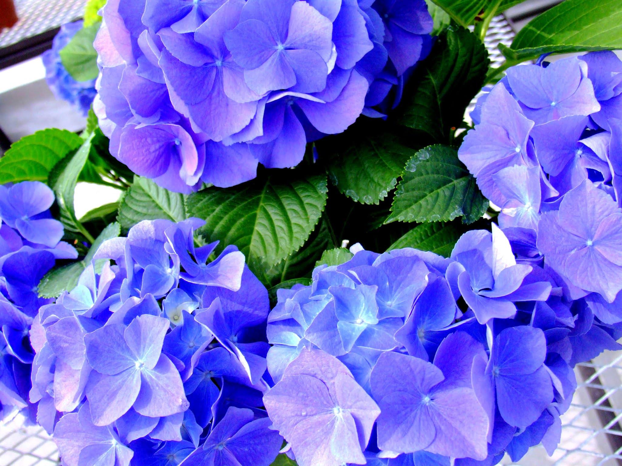 紫がキレイな、梅雨を凄く想起させるアジサイです。私の中では、紫陽花といえば紫、と言うイメージがあります。