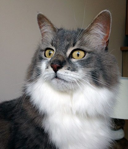 Gorgeous grey-and-white cat Bluebell