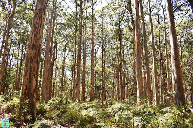 Bornadup Forest, Western Australia