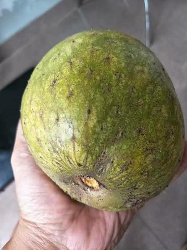 bibit tanaman buah sirsak kuning Surakarta
