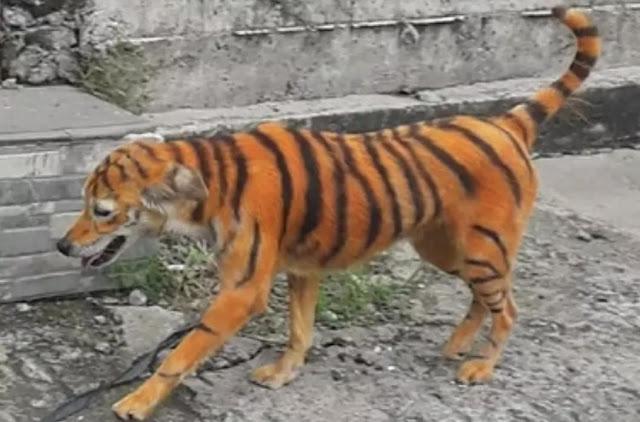 Предприимчивый индийский фермер для защиты урожая от обезьян перекрасил собаку в тигра