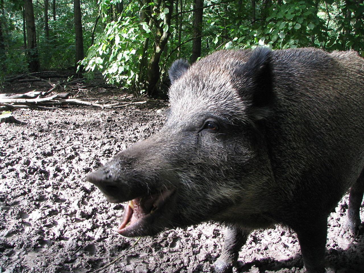 Holiday in Tuscany - AlbaToscana: The wild boar driven hunt