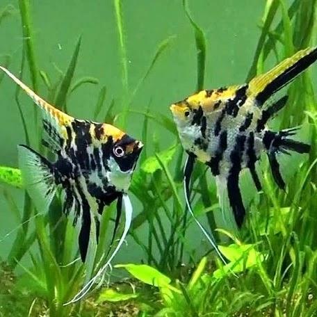 Kontes Ikan Hias SCH Royal Aquatics
