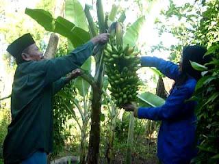 proses panen buah pisang