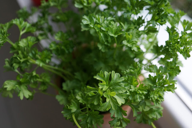 Learning how to grow parsley from seed means you'll have ready access to this versatile herb almost year-round.