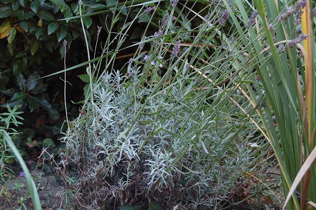 Lavendel Olympia