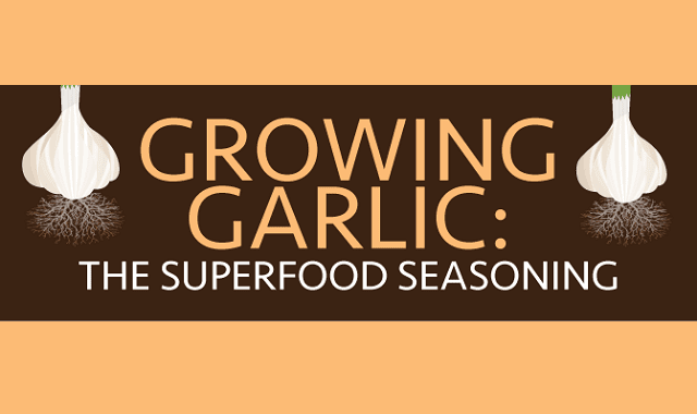Growing Garlic: The Superfood Seasoning