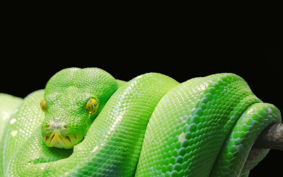 green tree python widescreen resolution hd wallpaper