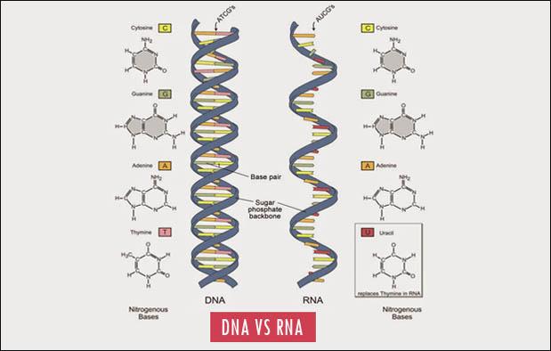 Perbedaan DNA & RNA, Begini Pembahasan Lengkapnya