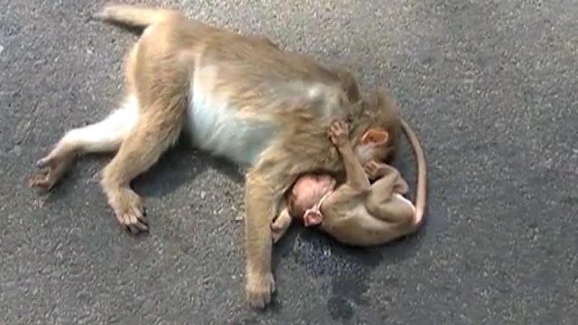 Тщетные попытки детеныша обезьяны разбудить погибшую мать попали на видео