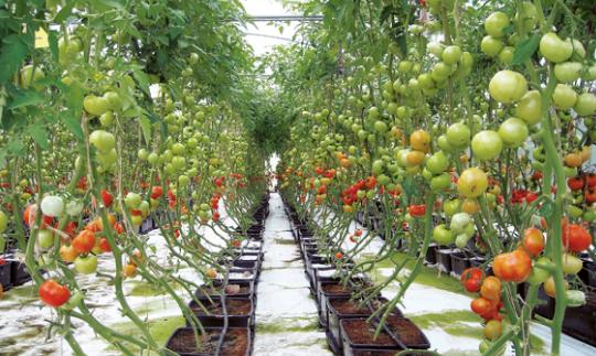 perawatan tanaman tomat